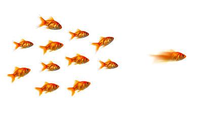 gold_fish_leading_school_of_fish