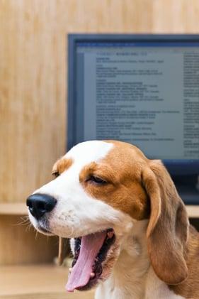 beagle_yawning